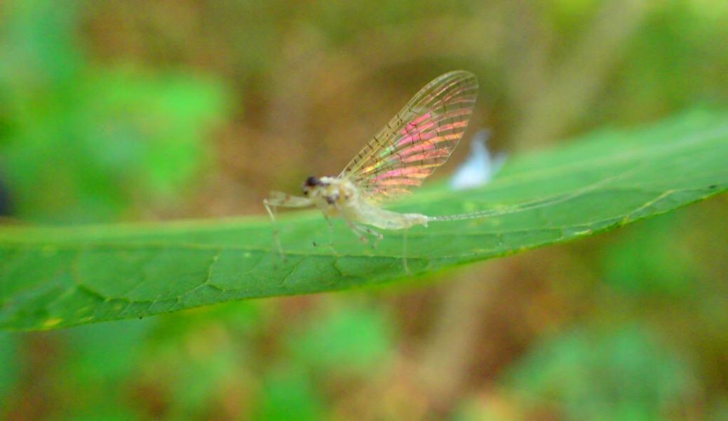 springbug